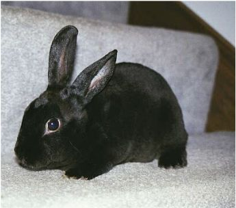 This young mini-rex male is friendly and full of energy which he    Black Mini Rex Rabbits