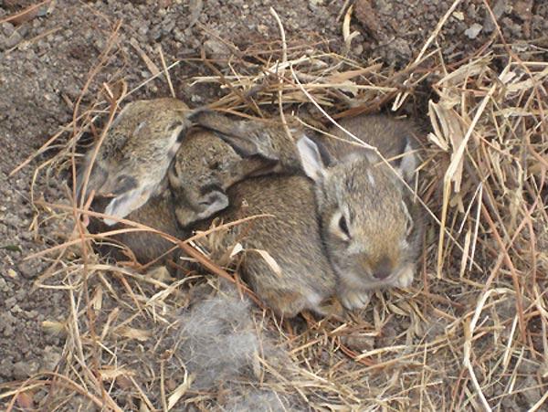 Wild newborn rabbits - photo#2