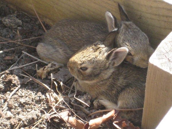 Wild newborn rabbits - photo#20