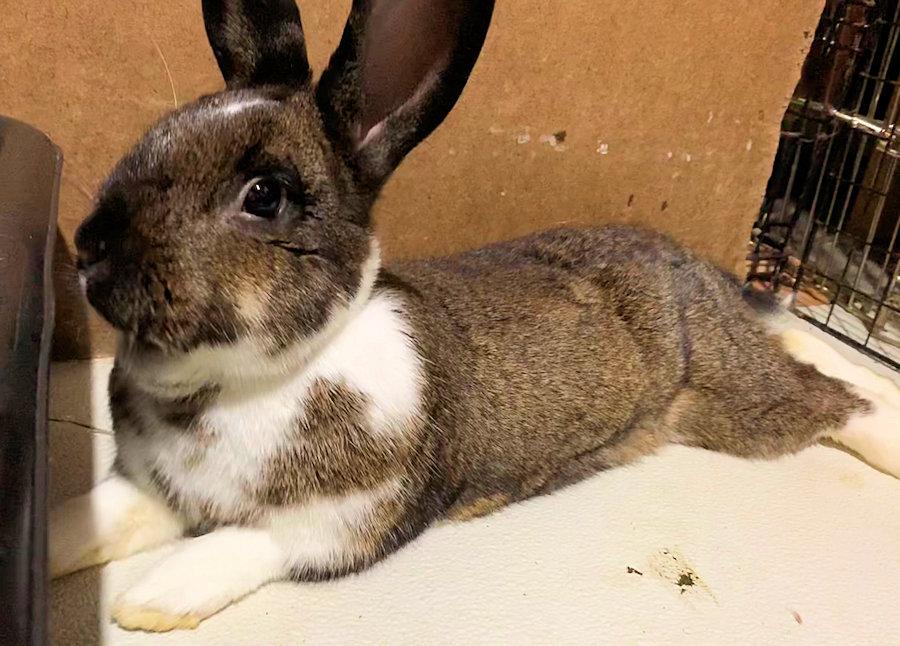 Buckeye House Rabbit Society
